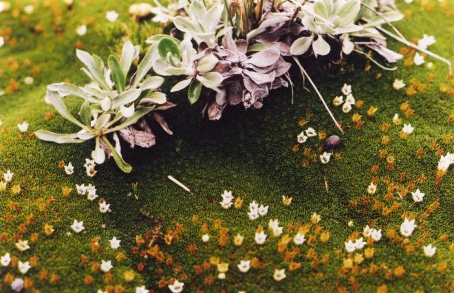 cushion plant as nurse plant