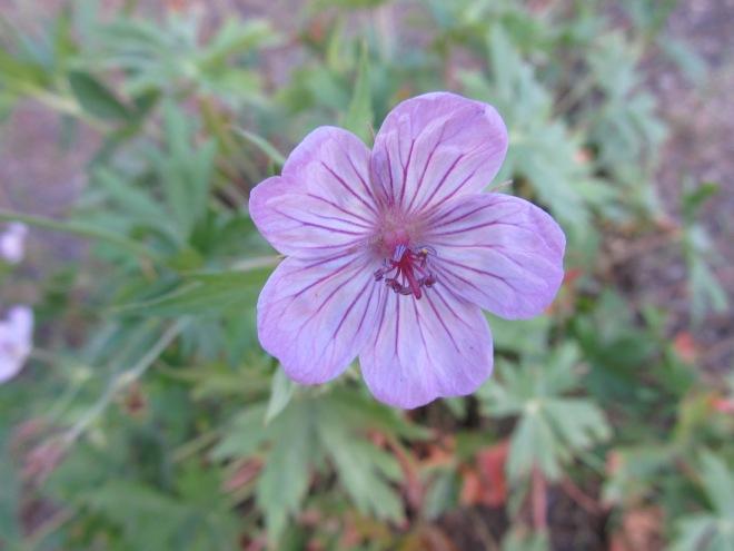geranium viscosissimum