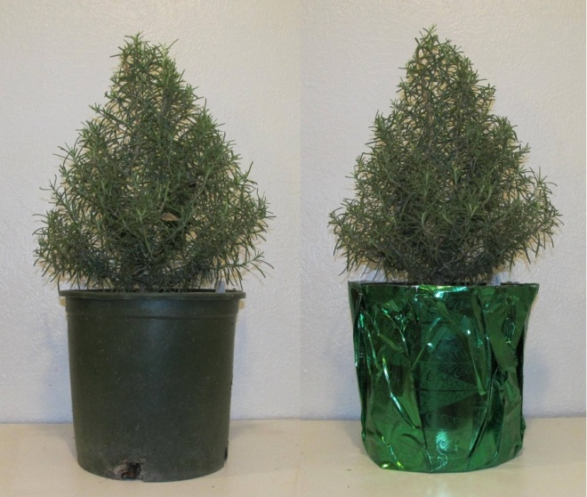 Rosemary Christmas Tree – awkward botany