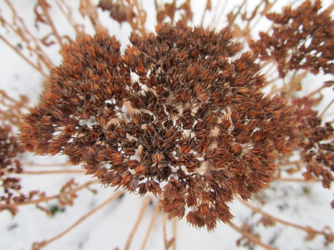sedum sp. seed head