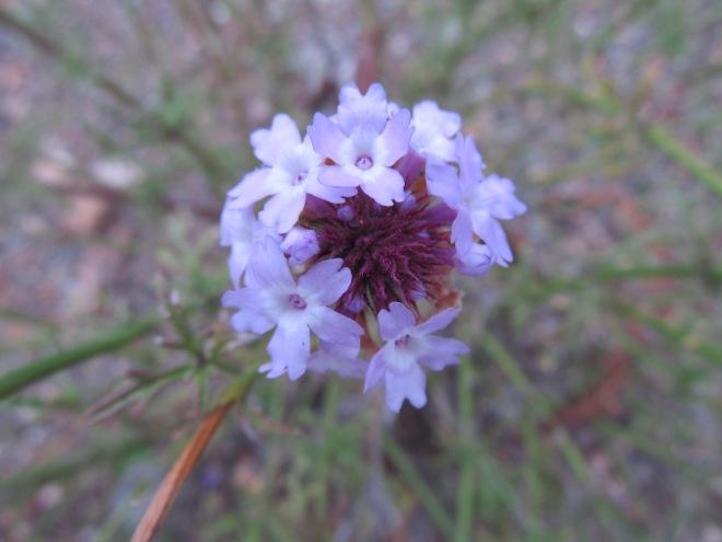 lilac verbena_verbena lilacina