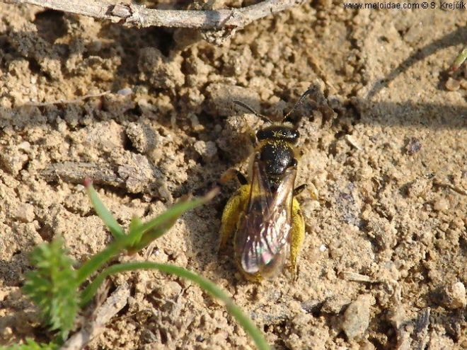 ground nesting bee_lasioglossum