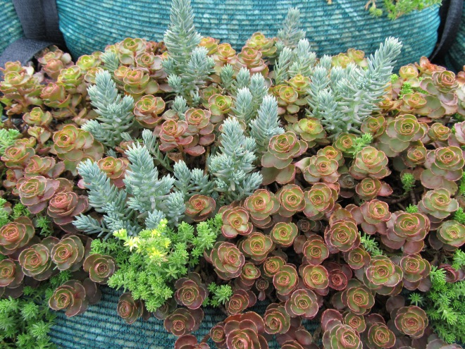 Drought tolerant sedums (Sedum spp.) with their shallow roots and succulent leaves are ideal for use on green roofs where temperatures are often high and water is limited.