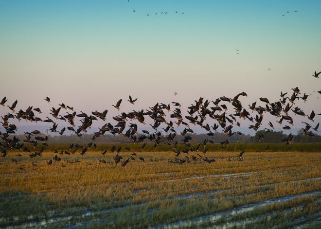 Geese in a Flooded Rice Field in California (photo credit: NRCS)