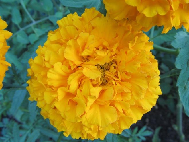Aztec Marigold (Tagetes erecta)