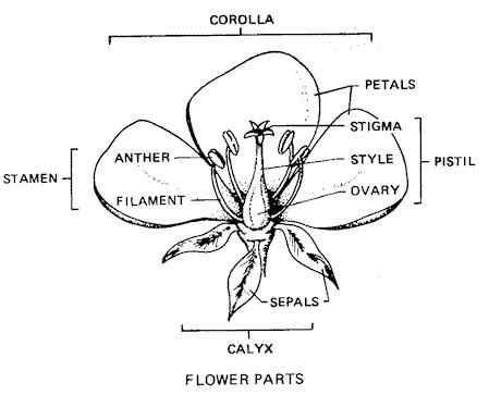 14 botanical terms for flower anatomy awkward botany flower anatomy ccuart Choice Image