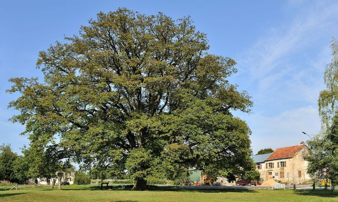 Quercus sp., Oak Tree (photo credit: wikimedia commons)
