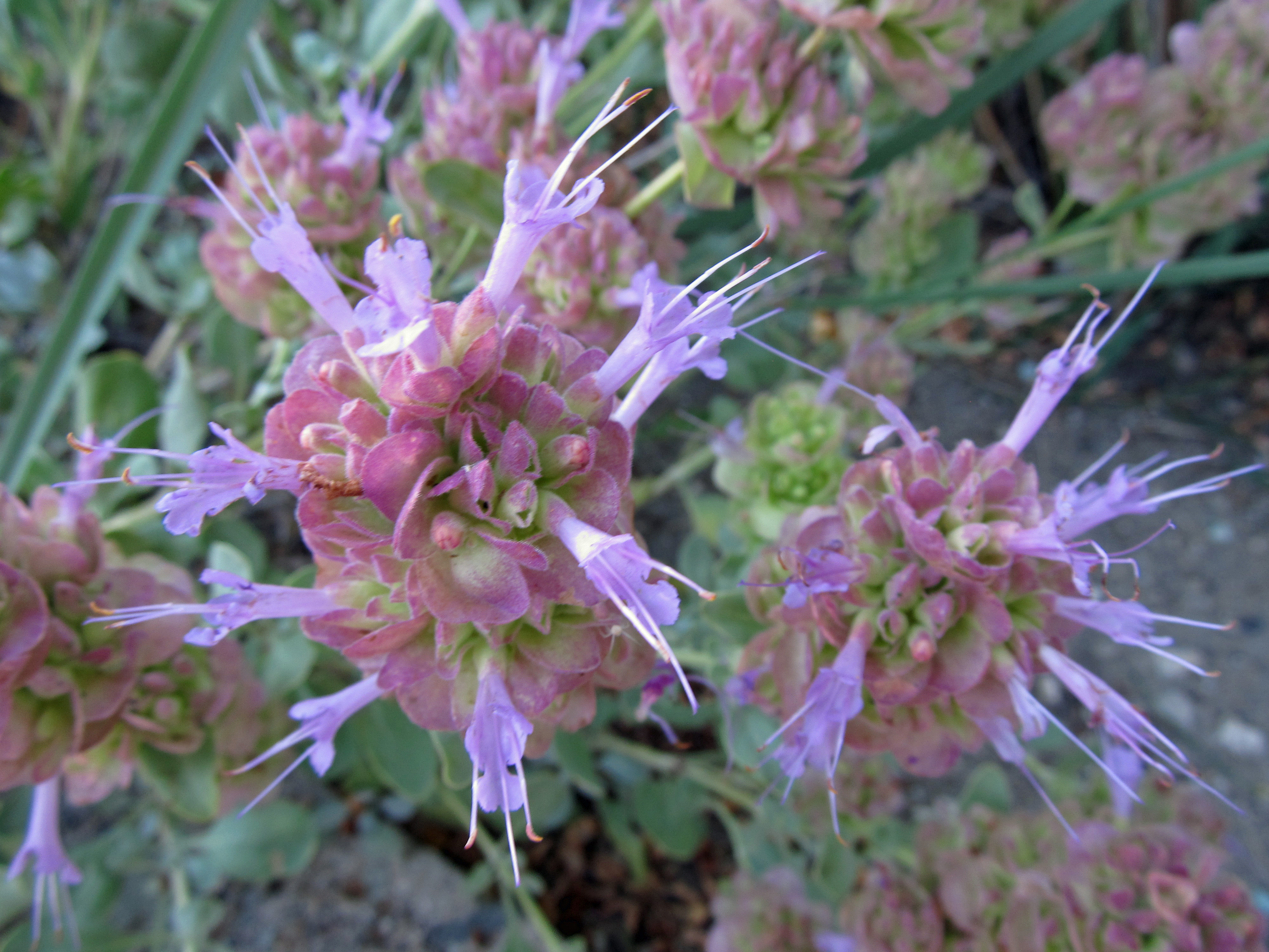 Drought Tolerant Plants Blue Sage Awkward Botany