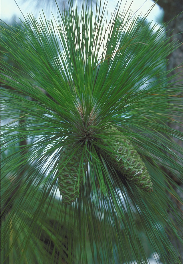 Longleaf Pine, Pinus palustris (photo credit: wikimedia commons)
