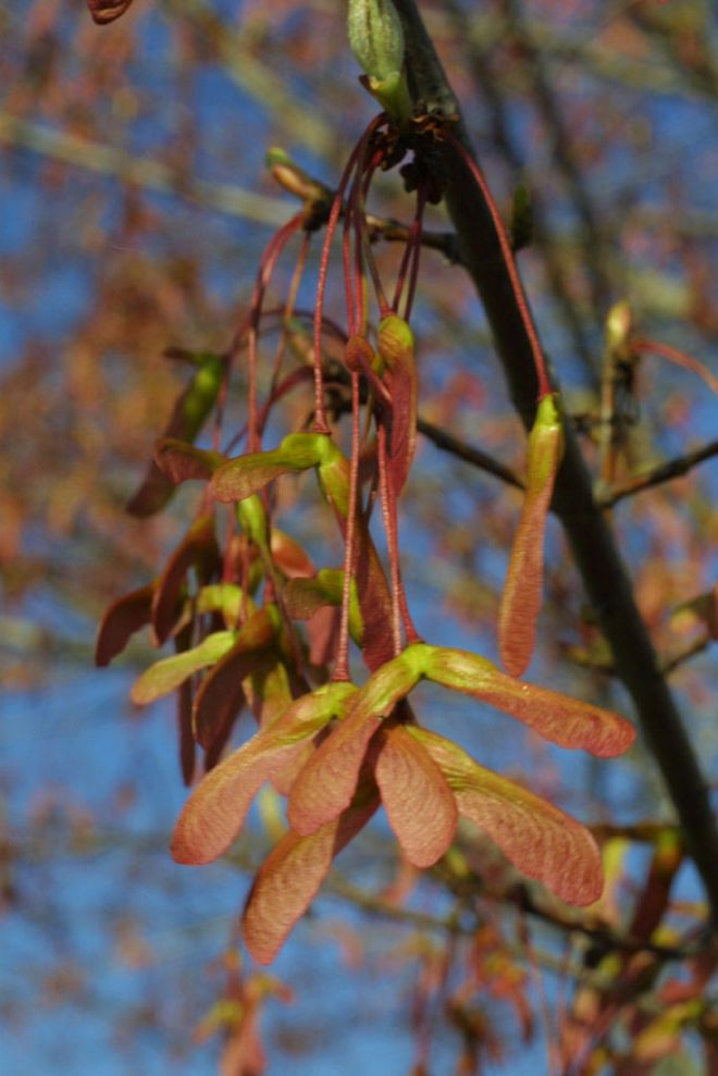 The fruits of red maple, Acer rubrum (photo credit: eol.org)