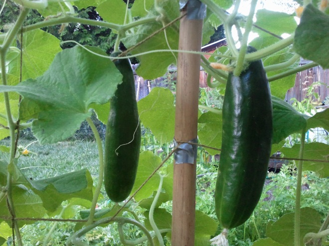 Two cucumbers hanging on a makeshift  trellis. I can't remember what variety they are. This why I need to remember to take better notes.