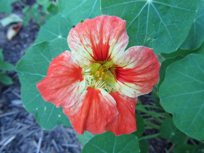 We grew other flowers for eating, like this nasturtium.