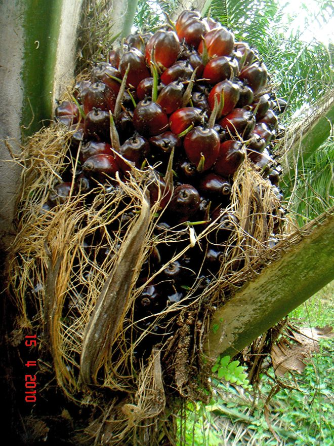 Oil Palm Friuits (photo credit: www.eol.org)