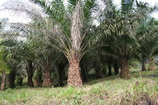 African Oil Palm (Elaeis guineensis) is the species of oil palm most commonly grown for palm oil production.