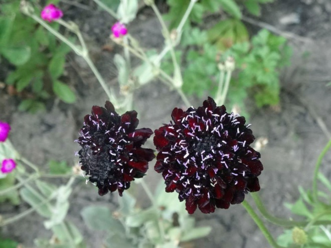 We grew lots of flowers, too. 'Black Knight' scabiosa (aka pincushion flower)was one of our favorites.