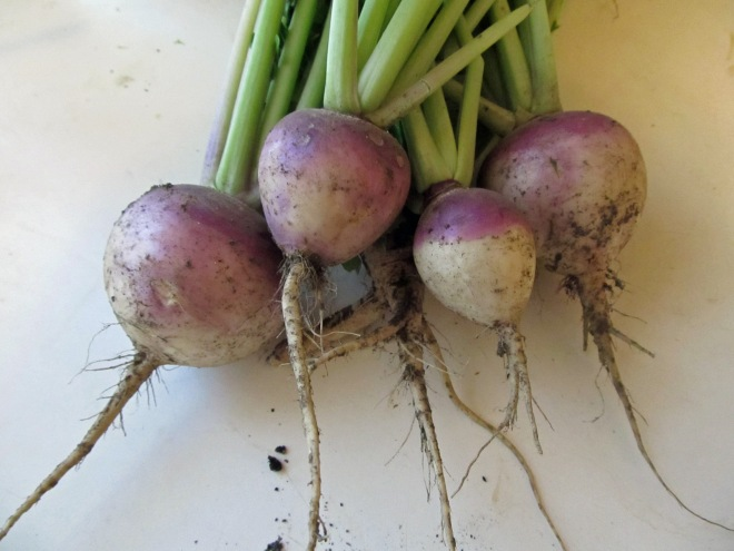 'Purple Top White Globe' Turnips