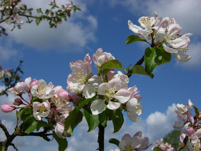 Malus sylvestris (common crabapple) - One of the three main players involved in the apple domestication story (photo credit: www.eol.org)
