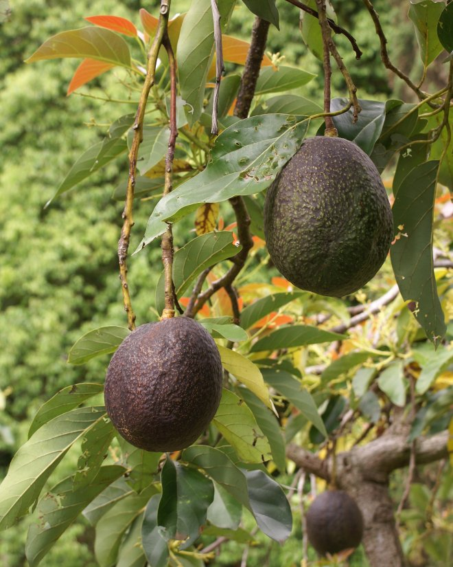 """""""Modern avocado breeding still depends heavily on open-pollination because of the difficulty associated with making controlled crosses."""" (photo credit: wikimedia commons)"""