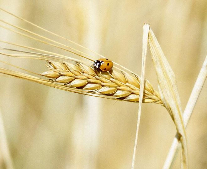 Barley - Hordeum vulgare (photo credit: Wikimedia commons)