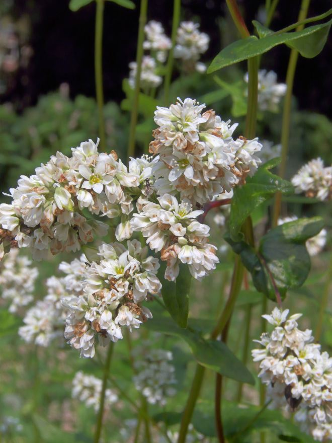Common Buckwheat, Fagopyrum esculentum (photo credit: Wikimedia commons)