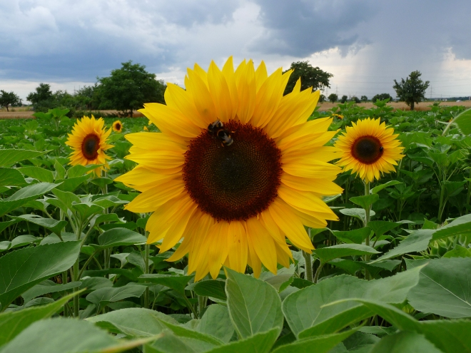 Common Sunflower, Helianthus annuus (photo credit: Wikimedia commons)