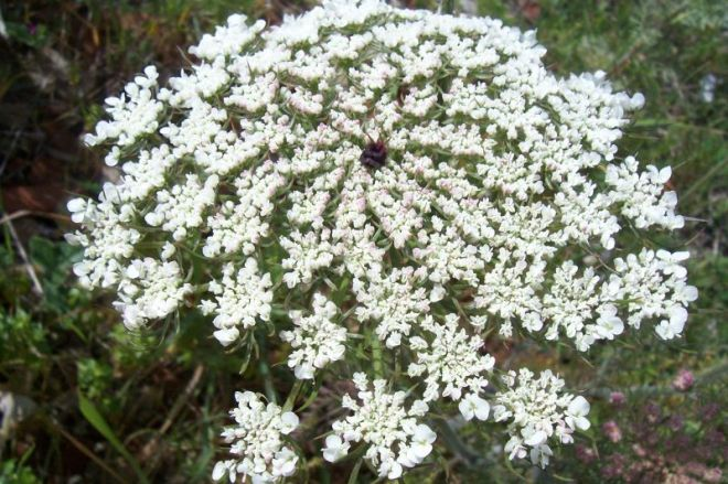 Flowers of Daucus carota (photo credit: www.eol.org)
