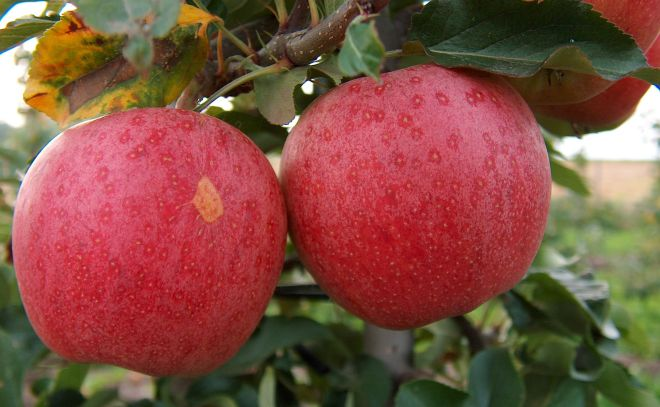Malus x domestica 'Gala' - One of the top 15 apple varieties produced in the U.S. (photo credit: wikimedia commons)