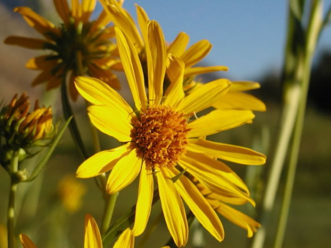 Nuttall's Sunflower (Helianthus nuttallii), one of Common Sunflower's wild relatives (photo credit: www.eol.org)