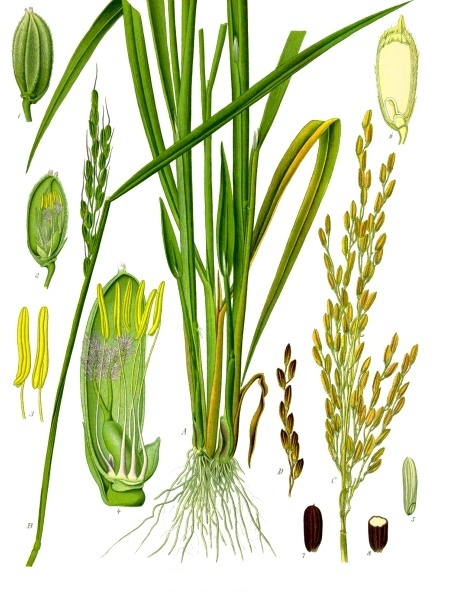 Rice, Oryza sativa (illustration credit: wikimedia commons)