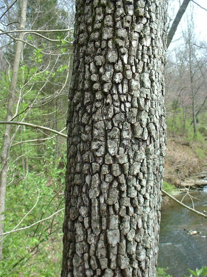 Characteristic bark of common persimmon, Diospyros virginiana (photo credit: www.eol.org)