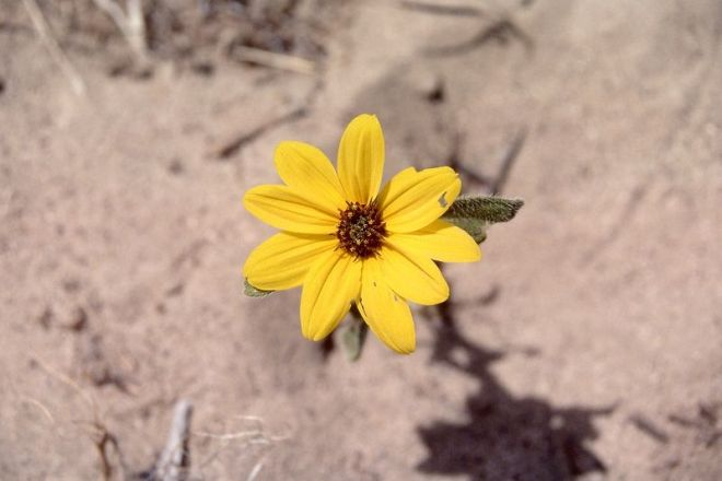 "Desert sunflower (Helianthus deserticola) - One of three hybrid species born of H. annuus and H. petiolaris, ""highlighting the expanded potential of hybrid species...through colonization of extreme habitats where neither parental species can survive."" (photo credit: www.eol.org)"