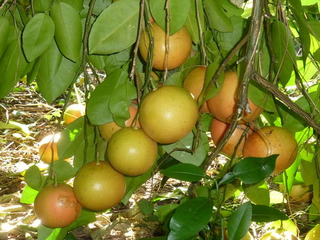 "Grapefruit (Citrus x paradisi) - A hybrid between sweet orange (Citrus sinensis) and shaddock (Citrus maxima) that ""occurred far beyond the region of domestication and rather recently [the 18th centruy]."" (photo credit: wikimedia commons)"