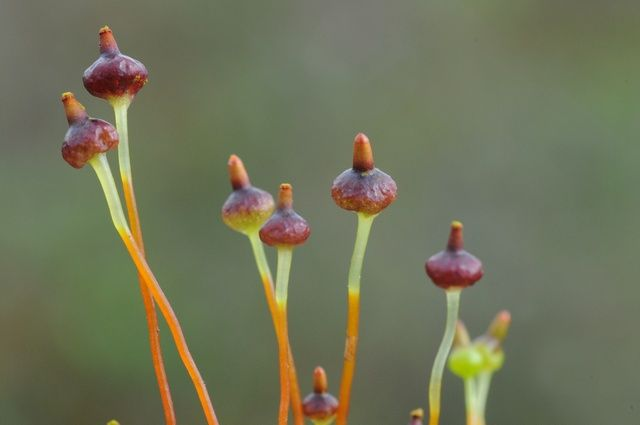 Sporophytes of Splachnum vasculosum (photo credit: www.eol.org)