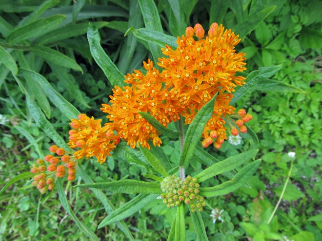 The flowers of butterfly weed (Asclepias tuberosa). Milkweed species (Asclepias spp.) are essential to monarch butterflies as they are the sole host plant of their larvae.