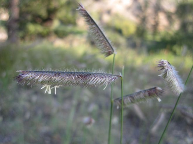 The seed heads of blue grama (Bouteloua gracilis), one of many attractive alternatives to traditional turfgrass. (photo credit: www.eol.org)