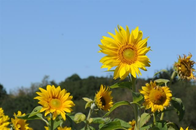 Common sunflower (Helianthus annuus) is one of several plants that can be used to remediate polluted soils. (photo credit: www.eol.org)