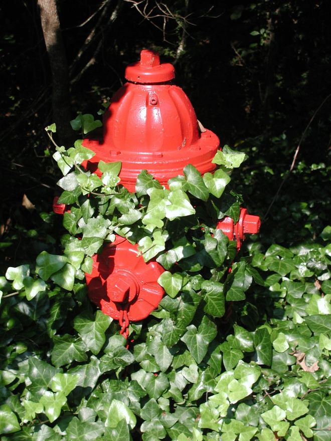 Fire hydrant decorated with ivy (photo credit: wikimedia commons)