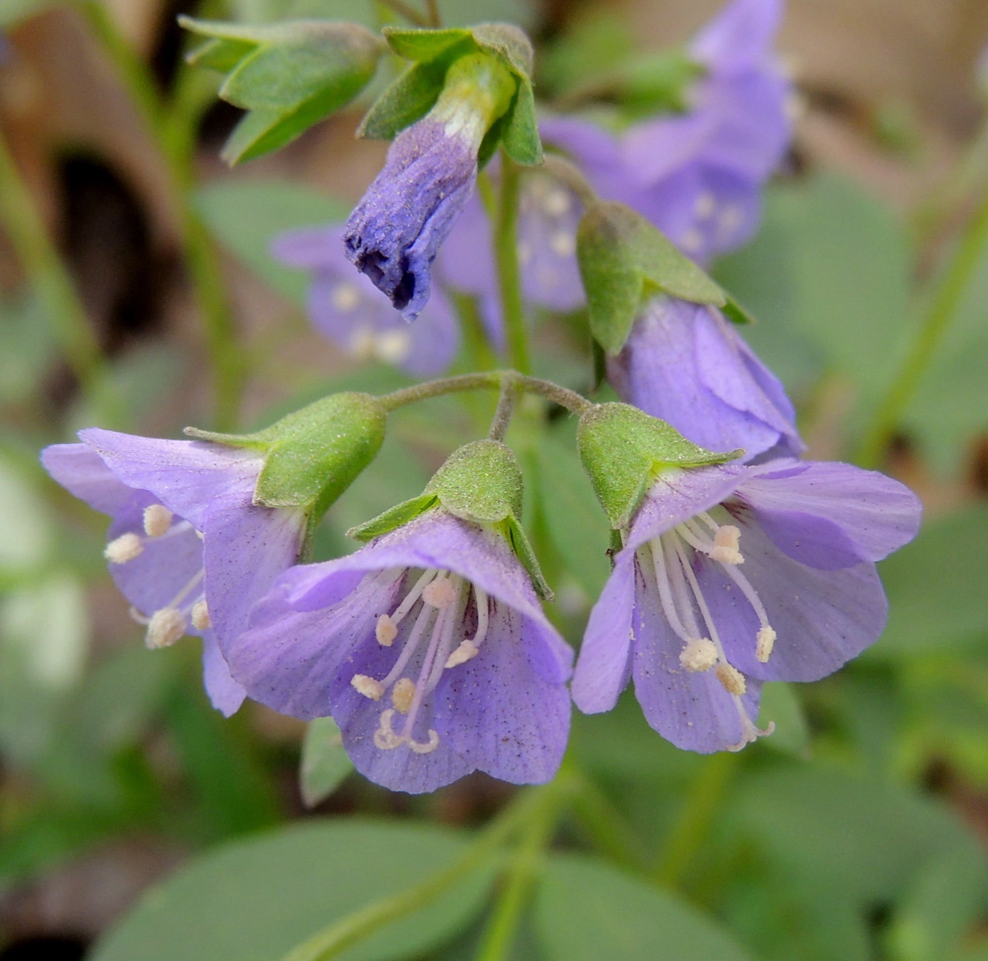 Pollinator garden awkward botany creeping jacobs ladder polemonium reptens is native to eastern north america and attracts native mightylinksfo