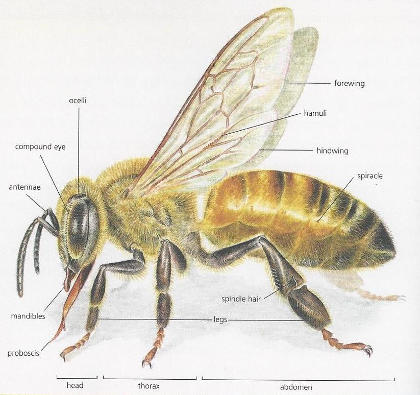 Year Of Pollination The Anatomy Of A Bee Awkward Botany
