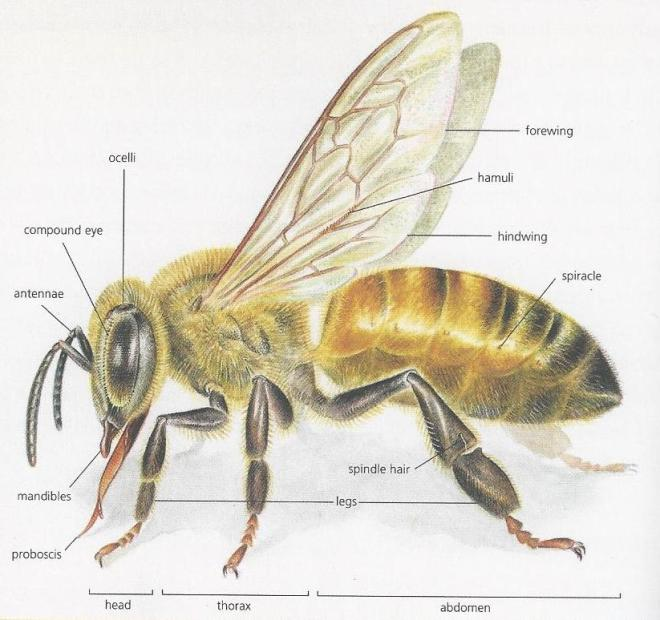 bee anatomy_california bees and blooms book