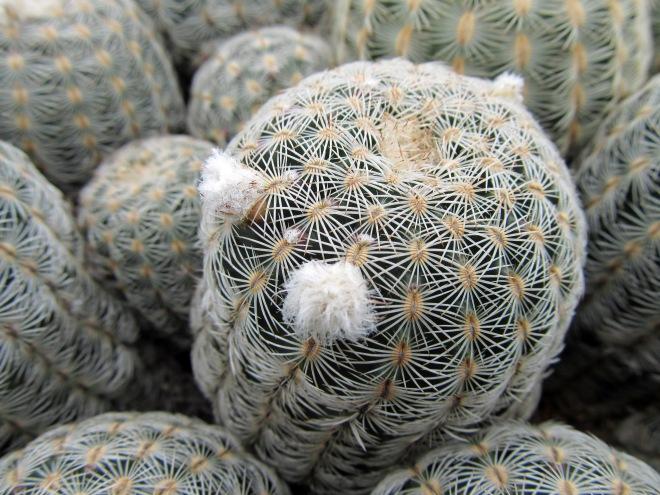 echinocereus reichenbachii 3