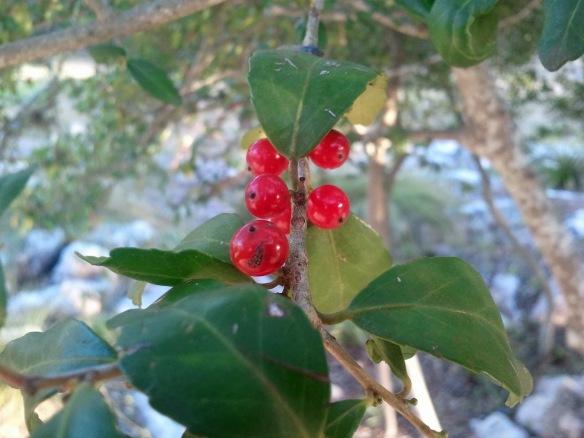 native plant information network   awkward botany