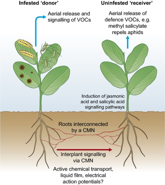 interplant signaling