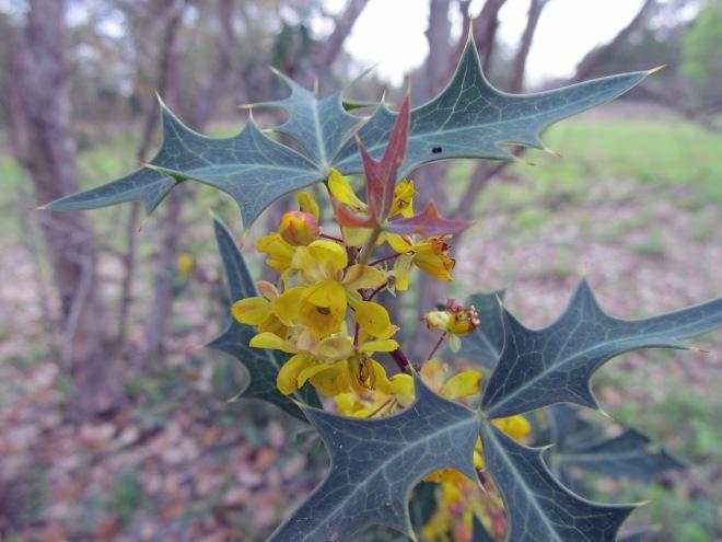 mahonia trifoliata 5
