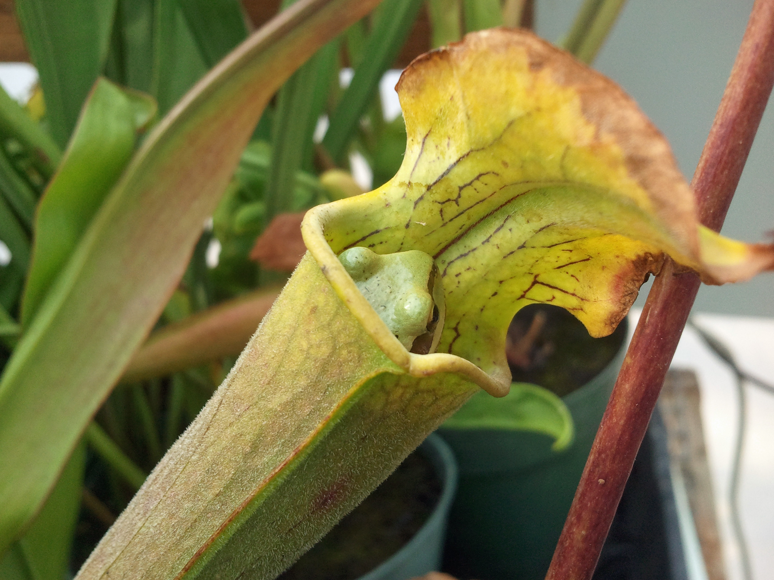 March 2015 – awkward botany Carnivorous Plants Eating