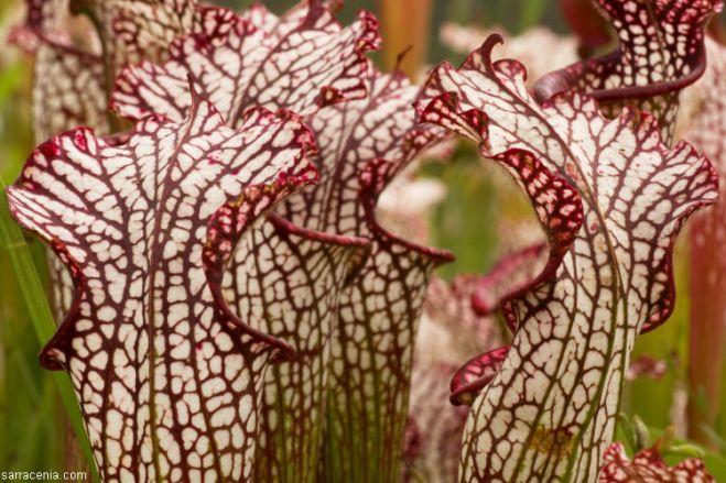 Hooded pitchers of Sarracenia leucophylla (photo credit: www.eol.org)