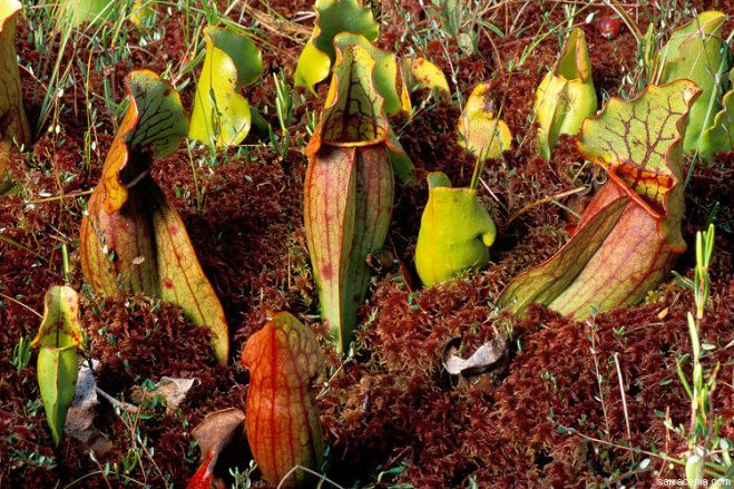 Hoodless pitchers of Sarracenia purpurea (photo credit: www.eol.org)