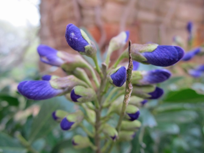 sophora secundiflora 7