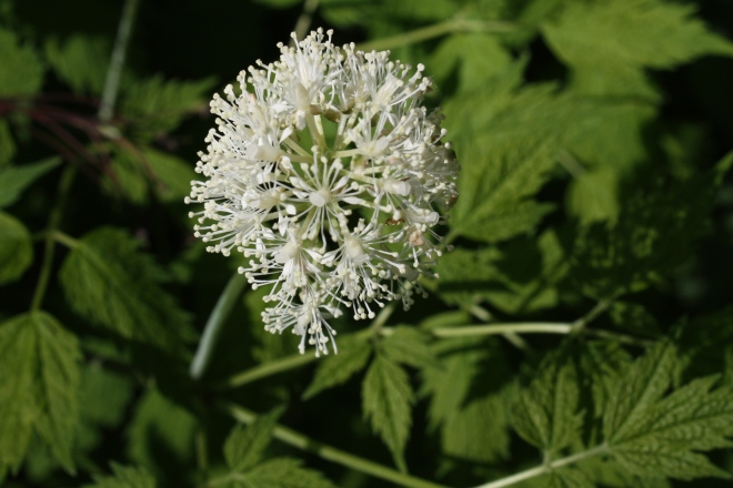 The flowers of red baneberry, Actaea rubra (photo credit: wikimedia commons)