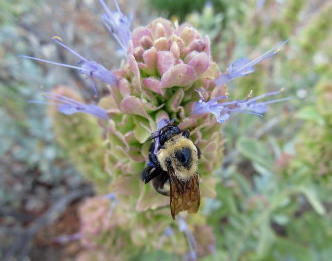 A bumble bee hugs Mojave sage (Salvia pachyphylla)